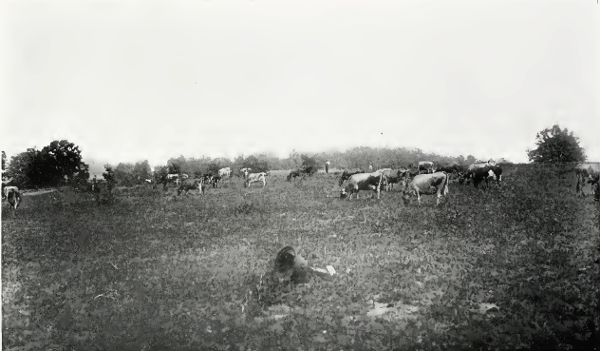 Herd of Cattle from 1914 Farm Notes Bulletin